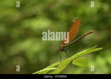Female Beautiful Demoiselle (Calopteryx Virgo). - Stock Photo