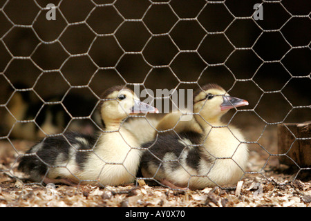Young family of baby ducklings in chicken wire cage - Stock Photo