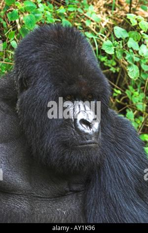 Mountain Gorilla Beringei Silverback dominant male portrait in bamboo forest Parc Nationale de Volcans Rwanda - Stock Photo