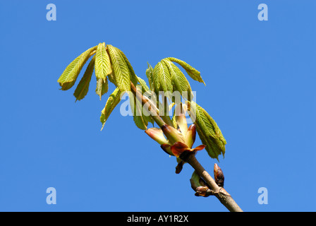 Horse chestnut Aesculus hippocastanum young leaves against a blue spring sky - Stock Photo