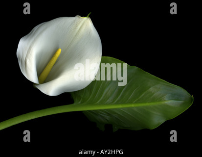 Close-up of a single Calla Lily against a black background - Stock Photo