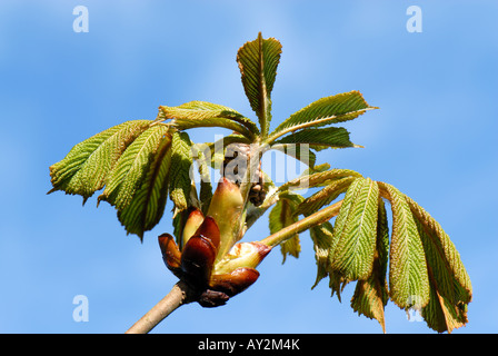 Horse chestnut Aesculus hippocastanum young leaves and tight flower bud against a blue spring sky - Stock Photo