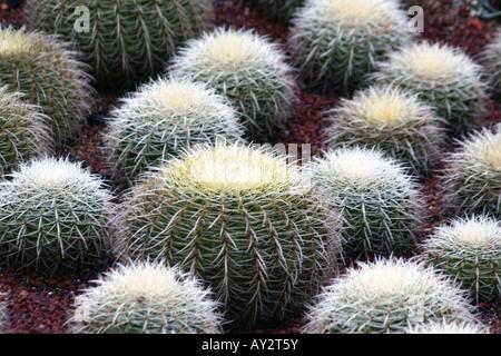 Barrel Cactus at the Royal Botanic Gardens in Sydney [Mrs Macquaries Road, Sydney, New South Wales, Australia, Oceania]. - Stock Photo