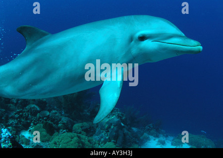 Netherlands Antilles Curacao bottlenose dolphins in the Caribbean sea - Stock Photo