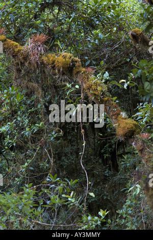 rain forest canopy ephiphite volta foresta tropical mushroom lichen epifite bromeliacee bromelia mountain cerro de la muerte Stock Photo