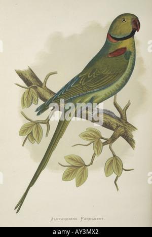 Psittacula eupatria Alexandrine parakeet