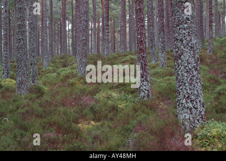 Scots pine trees in the Rothiemurchus Forest - Stock Photo