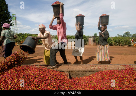 Africa Kenya Ruira Coffee pickers empty buckets of Arabica coffee beans at collection site - Stock Photo
