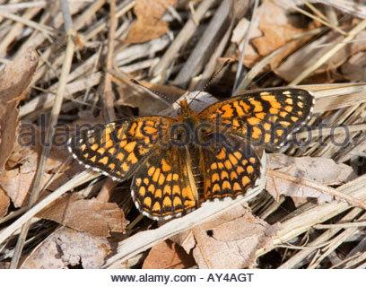 Sagebrush Checkerspot Chlosyne acastus Butterfly  Nymphalidae Subfamily Nymphalinae Arizona - Stock Photo