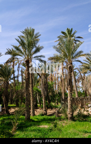 Palmeraie, Nefta, Tunisia - Stock Photo