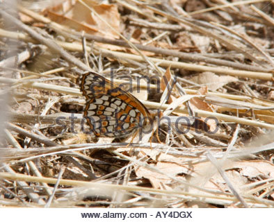 Sagebrush Checkerspot Chlosyne acastus Butterfly  Nymphalidae Subfamily Nymphalinae - Stock Photo