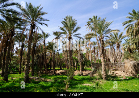 Date Palm trees in the Oasis Palmerie, Nefta, Tunisia - Stock Photo