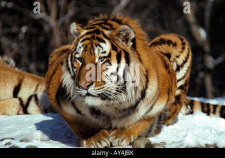 Bekannt portrait tigre de siberie Siberian Tiger Panthera tigris altaica  OY52