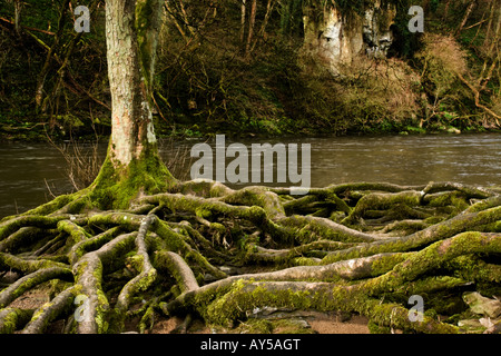 Tree roots exposed by river erosion on the banks of the River Ure at Aysgarth in Wensleydale, North Yorkshire. - Stock Photo