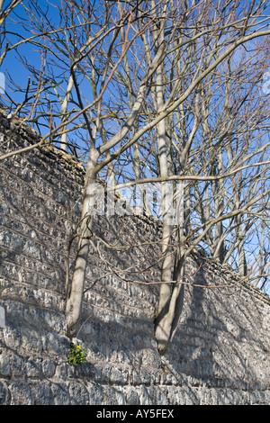Young trees growing in stone wall crevices. Jeunes arbres poussant dans les anfractuosités d'un mur de pierre. - Stock Photo