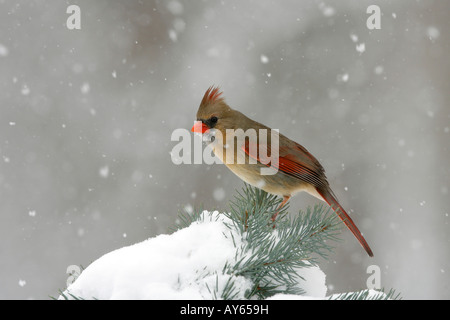 Female Northern Cardinal Perched on Snow Covered Spruce - Stock Photo