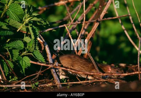 Brown Rat on the run through undergrowth. - Stock Photo