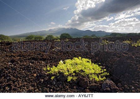 Plants establish foothold on lava field in the Ahihi Kinau Natural Area Reserve on Maui in the state of Hawaii USA - Stock Photo