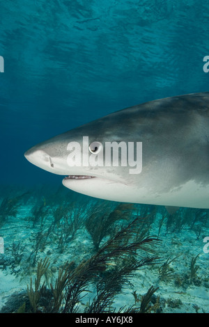 TIGER SHARK GALEOCERDO CUVIER PHOTOGRAPHED OFF OF WEST END GRAND BAHAMA BAHAMAS ISLANDS - Stock Photo