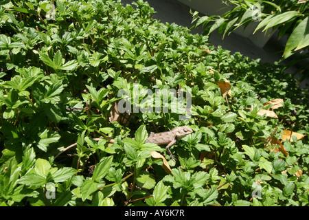 Lizard in Undergrowth [Bandos Island, Kaafu Atoll, Maldives, Asia].                                             - Stock Photo