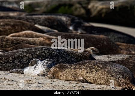 Harbor Seal laying on beach in San Diego California - Stock Photo