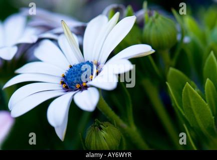 A Blue-eyed African Daisy, Osteospermum fruticosum. Oklahoma, USA. - Stock Photo