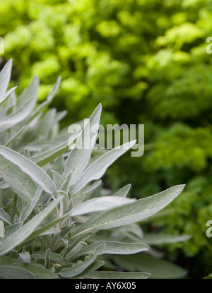 Sage Salvia officinalis majorand parsley in a vegetable garden - Stock Photo