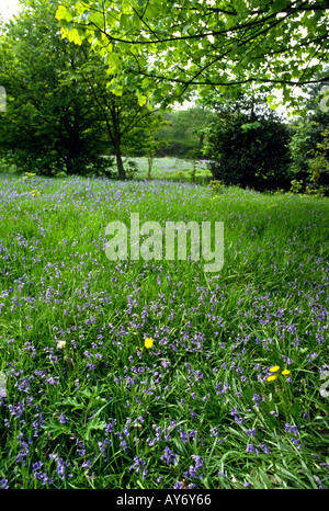Cheshire Poynton spring bluebells in field at Higher Poynton - Stock Photo