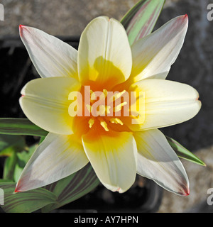 Tulipa 'Johann Strauss' - Stock Photo