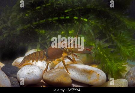 American Crayfish. Signal crayfish Pacifastacus leniusculus - Stock Photo
