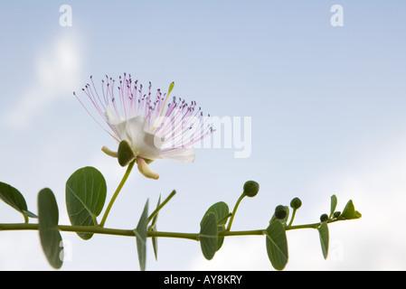 Eucalyptus branch in flower - Stock Photo