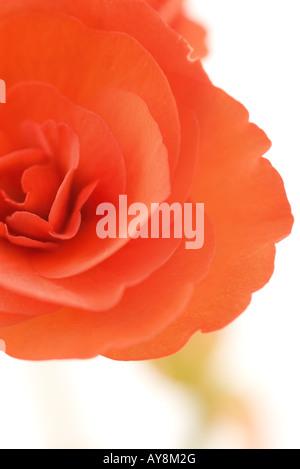Begonia flower, close-up - Stock Photo