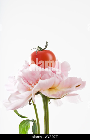 Cherry tomato resting on top of pink carnation, close-up - Stock Photo