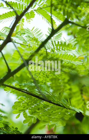 Mimosa branches and leaves, close-up - Stock Photo
