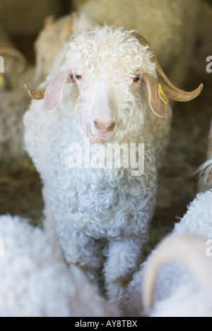 Angora goat in barn, looking at camera - Stock Photo