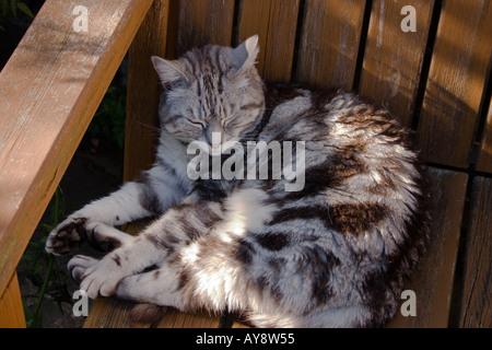 Silver tabby cat asleep on shady garden bench, UK - Stock Photo