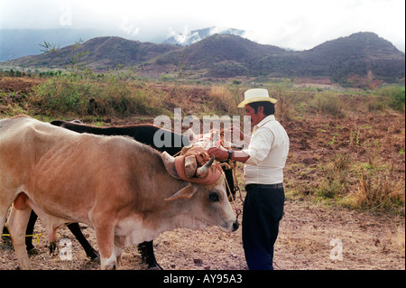 Moving cattle to the fields to work ploughing the land - Stock Photo
