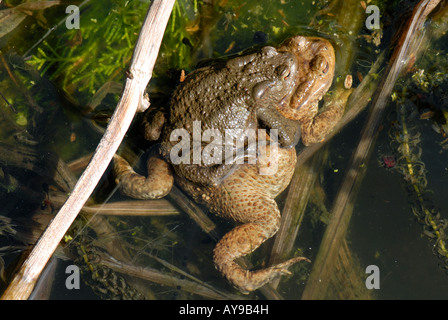 Common European toads Bufo bufo male on top of female during spawning - Stock Photo