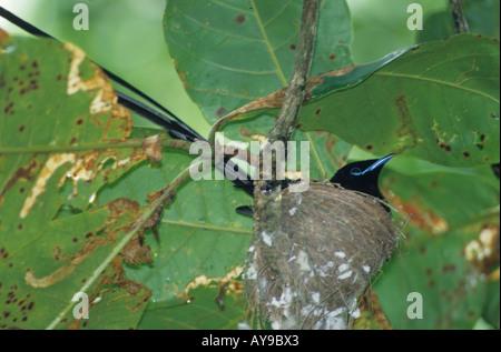 Seychelles Black Paradise Flycatcher Terpsiphone corvina Male incubating La Digue - Stock Photo