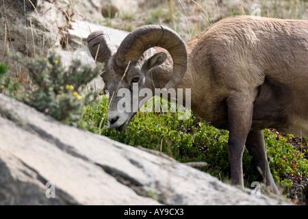Rocky Mountain Bighorn Sheep eating on a hillside - Stock Photo