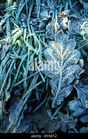 Frosty Oak Leaf In Winter Dorset county England UK - Stock Photo