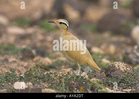 Cream-coloured Courser Cursorius cursor adult standing on desert plain on Fuerteventura in March. - Stock Photo
