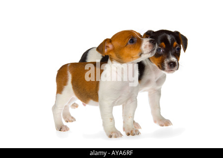 Two seven week old Jack Russell Terrier puppies on white background standing facing right. JMH1978 - Stock Photo