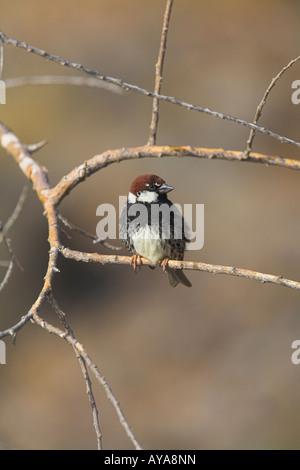 Spanish Sparrow Passer hispaniolensis male sitting in dead tree on Fuerteventura in April. - Stock Photo