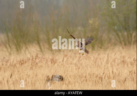 Male and Female Marsh Harrier in flight over nest in reedbed.Cambs, UK - Stock Photo