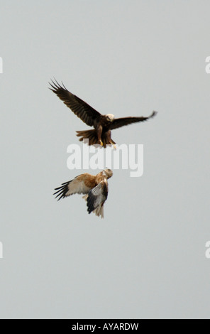 Male and Female Marsh Harrier in flight display. Cambs, UK - Stock Photo