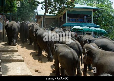 Herd of elephants walking up the hill from the river at the Pinnawala Elephant Sanctuary, Sri Lanka. - Stock Photo