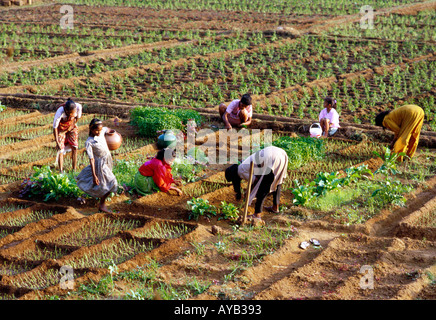 Planting Crops in South Goa in India. - Stock Photo