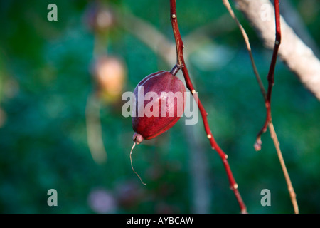 red fruit of barrentonia rassi mossa - Stock Photo