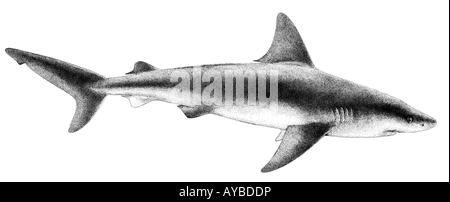 Sandbar Shark (Carcharhinus plumbeus), illustration - Stock Photo